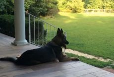 Woman Tells Her German Shepherd That She's Had A Long Day. His Response Is Perfect!