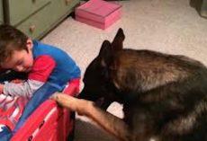 German Shepherd Helps His Little Human Get Ready For Bedtime
