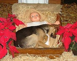 Helpless Puppy Had Nowhere To Go. Finds Warmth In A Nativity Scene's Manger.