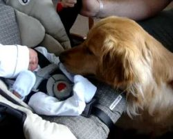 Golden Retriever Meets Tiny Newborn Baby For The First Time. His Reaction Is Priceless!