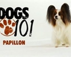 (Video) Papillon Dog Breed Information