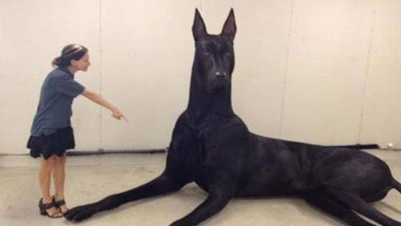 Biggest Dog Breeds In The World - 10 of the worlds biggest pets