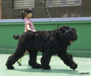 1222px-black_russian_terrier_and_my_daughter_%e1%84%87%e1%85%b3%e1%86%af%e1%84%85%e1%85%a2%e1%86%a8_%e1%84%85%e1%85%a5%e1%84%89%e1%85%b5%e1%84%8b%e1%85%a1%e1%86%ab_%e1%84%90%e1%85%a6%e1%84%85