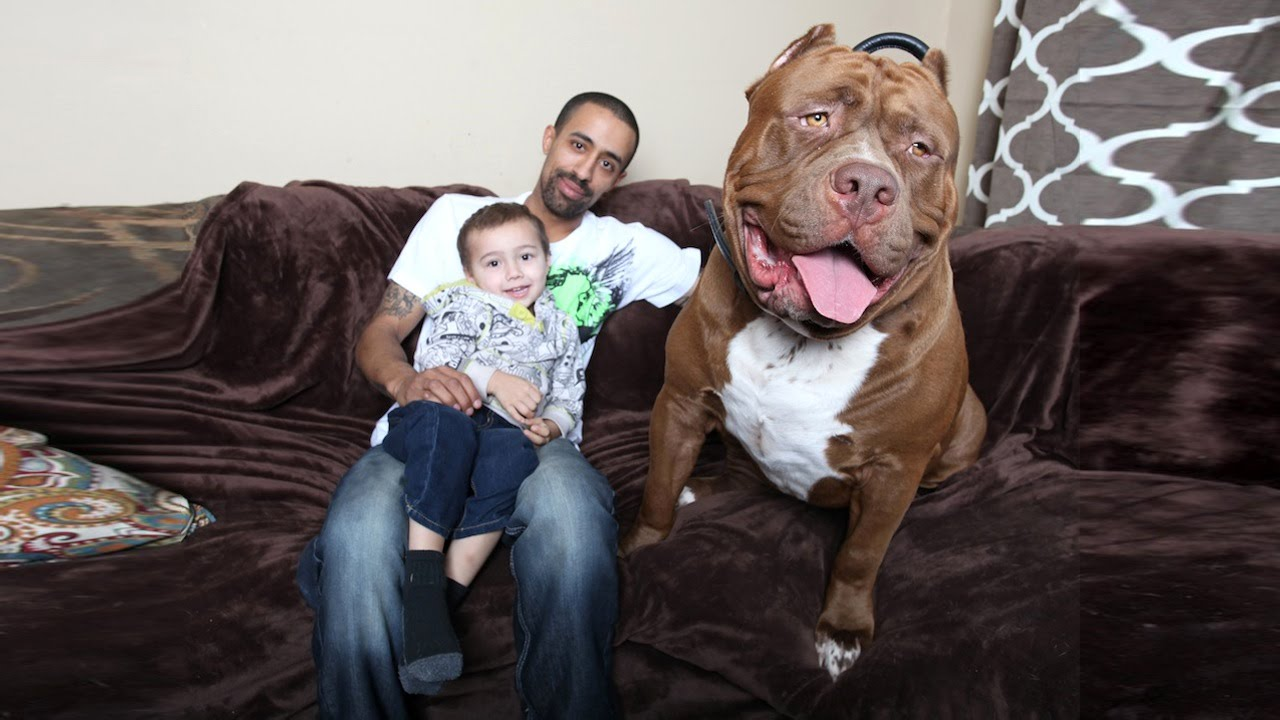 BIGGEST Dogs In The World - Meet hulk possibly worlds biggest pitbull still growing