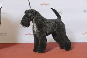 grupp_3_kerry_blue_terrier_se_uch_edbrios_don_giovanni_24227701641