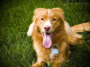 nova_scotia_duck-tolling_retriever_laying