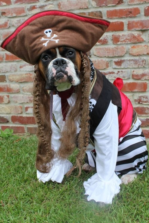boxer-pirate-costume & 12 Costumes That Prove Why Boxer Dogs Always Win At Halloween