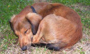 dog-sleeping-in-a-ball