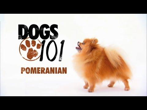 DOGS 101 – Pomeranian