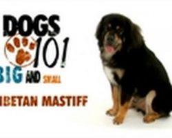 Dogs 101- Tibetan Mastiff