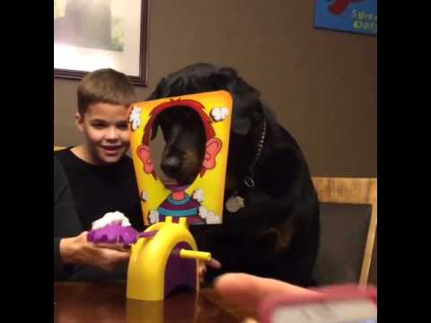 """Rottweiler Can't Wait For His Turn To Play """"Pie Face!"""" On Family Game Night!"""