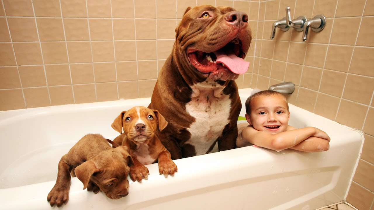 Pitbull The Hulk Puppies