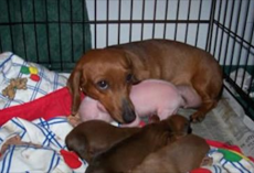 [Video] Loving Dachshund Adopts Piglet And Raises Her As One Of Her Own