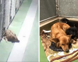 Security cameras capture dog sneaking out of her kennel to comfort lonely foster puppies