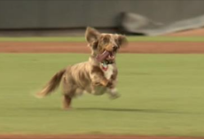 [Video] Runaway Wiener Dog Crashes Ball Game And Has The Time Of His Life