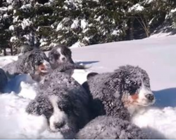 These Bernese Mountain Dog Puppies Playing In The Snow Will Chase Away The Winter Blues