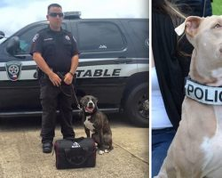 Pit Bulls Becoming K9s After Being Saved From Shelters And Given A Chance To Shine
