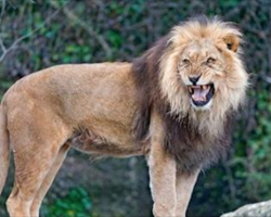 12-year-old is abducted and beaten by men, then 3 lions save her life