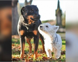 What Happens When A Rottweiler Breeds With A West Highland Terrier?