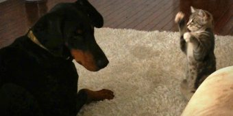 Adorable Rescue Kitten Shows Off Her 'Ninja' Moves To Big Doberman