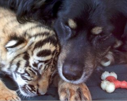 3 tiger cubs are abandoned by their mom. Zoo workers are shocked when a dog 'adopts' them