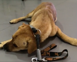 Rescue dog was so traumatized he'd pee when touched, but watch when they muzzle him