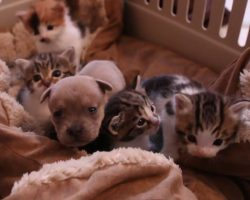They Put A Newborn Puppy With a bunch of Kittens. When Mama Cat sees The Intruder? PRICELESS!