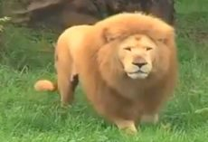 Lion was bored. Zookeeper threw him a toy, but was caught off guard by lion's reaction
