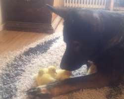 Gentle German Shepherd Watches Over Baby Ducks