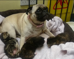 They Were Found Abandoned In A Stairwell. They'd Grow Up Without A Mom, Until This Pug Stepped In