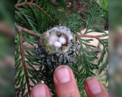 Government urges everyone to check their gardens for tiny eggs before they prune. Here's why