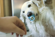 Golden Retriever hilariously refuses to give up pacifier, has giant meltdown