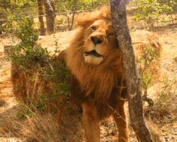 33 Circus Lions Finally Return Home To Africa After A Lifetime Of Misery