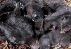 US Senate passes new bill, makes it legal to kill hibernating bear families in den