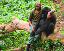 A Park Ranger Quietly Comforts A Sad Gorilla Who's Just Lost His Mother