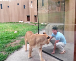 He Started Creating A Scene At The Zoo – What The Lions Did Is Beyond Funny