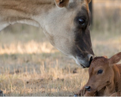 Mama Cow Knew Her Baby Would be Taken, So She Does the Most Incredible Thing to Save Him