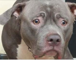 The Pit Bull Who Was Heartbroken When Realized She Was Left At Shelter Finds A Family