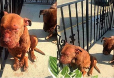 Two Battered, Broken, & Abandoned Bait Dogs Saved from a Life of Hell