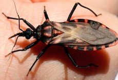 Everyone Should Know About The 'Silent Killer' Spread By Kissing Bugs