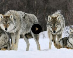 They Released 14 Wolves In A Park. But No One Was Prepared For THIS…