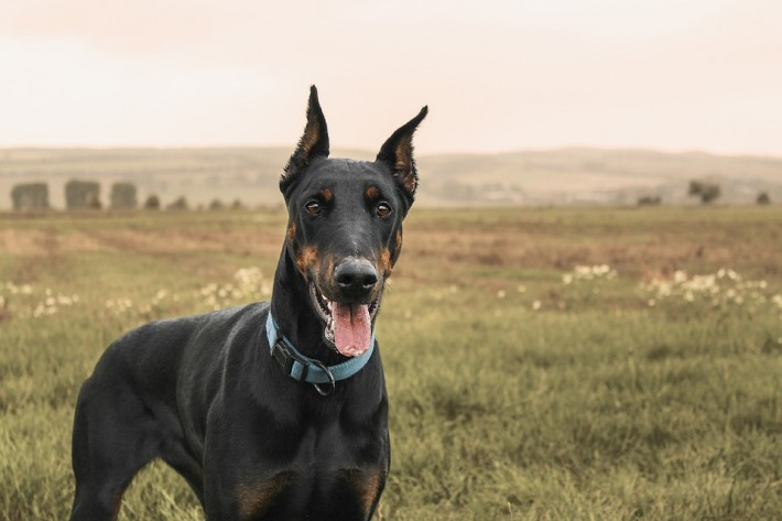 02-doberman-facts