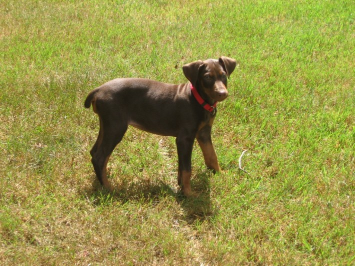 04-doberman-facts