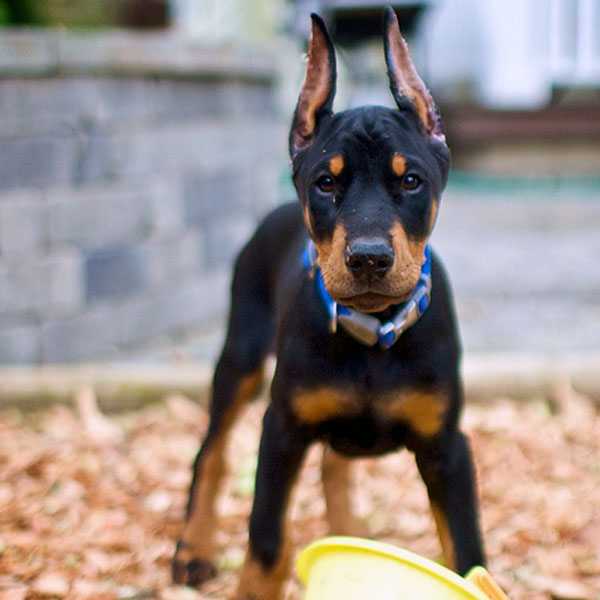 Little Dogs That Look Like Dobermans