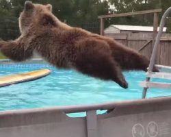 Grizzly bear climbs the pool ladder, then does hilarious faux pas