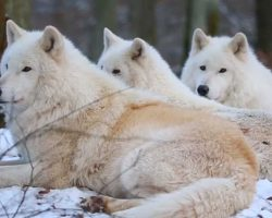 Arctic wolves howling a beautiful song