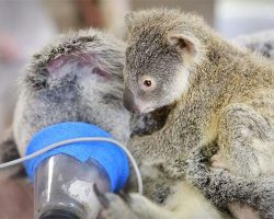 Baby Koala Stays With His Mother During Her Life-Saving Surgery