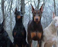 Fascinating Facts Most People Don't Know About Dobermans