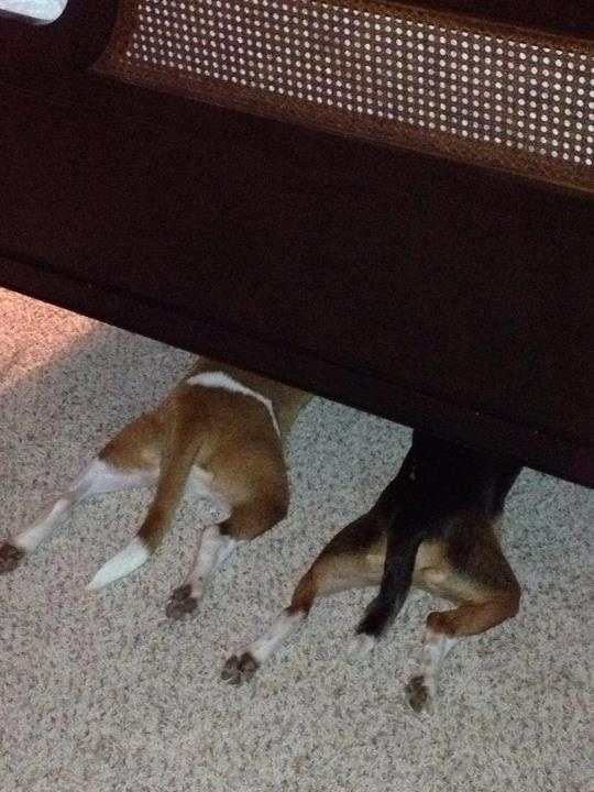dogs-under-bed