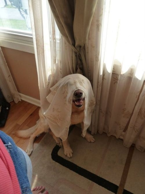 dog-in-curtains2